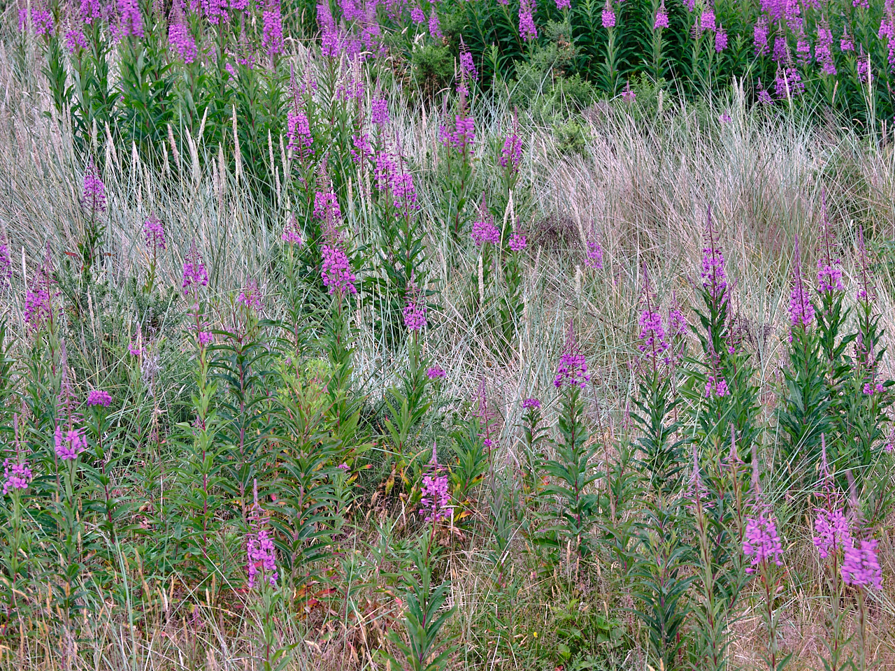 Rosebay Willowherb – Chamerion angustifolium