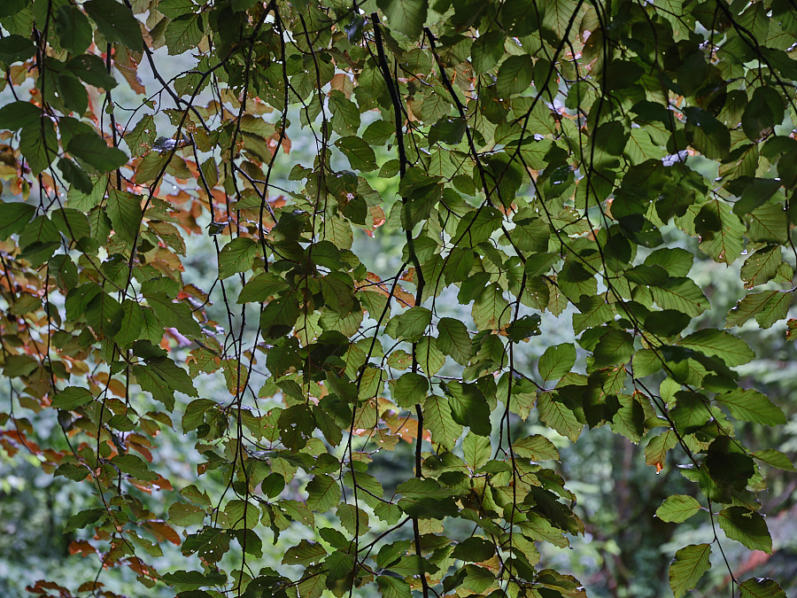 Beech Leaves - Summer