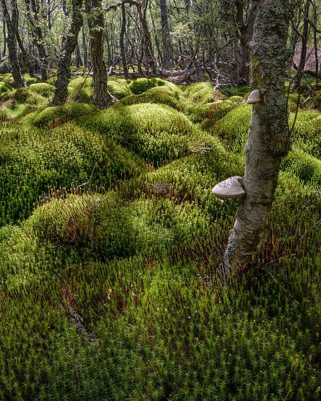 Birch Bracket And Moss