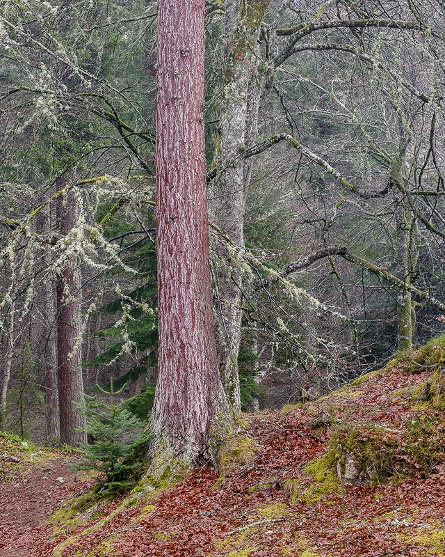 Redwood - Logie