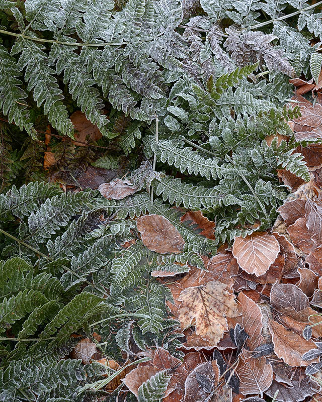 Frosted Leaves And Bracken