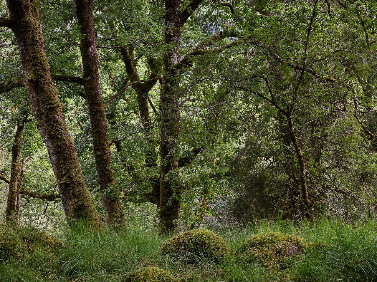 Oak In Shade