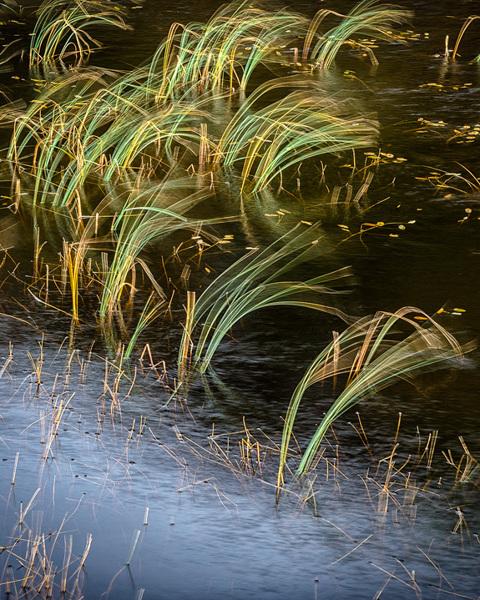 Wind Blown Reeds