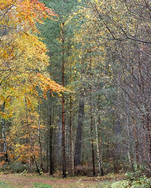 Culbin 103 - Autumn Birches