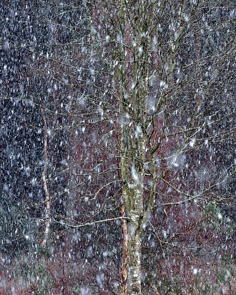 Culbin No 105 - Snow Shower - April